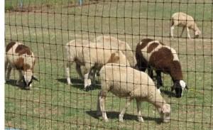 Big Lambs